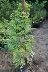 Глициния китайская Пролифик / Wisteria sinensis Prolific