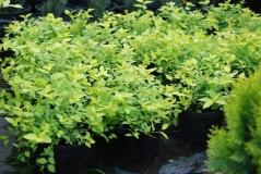Spiraea japonica Golden Princess 2,5 года (сентябрь)