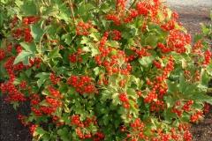 Плоды Калины обыкновенной Compactum