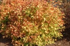 Калина Compactum осенью.