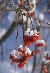 Калина Компактум. Зима.