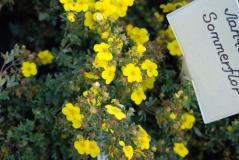 Лапчатка кустарниковая Соммерфлор (желтая)