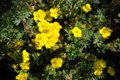 Лапчатка кустарниковая Соммерфлор / Potentilla fruticosa Sommerflor