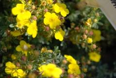 Potentilla fruticosa Sommerflor 3 года (сентябрь)