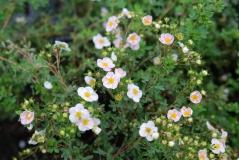 Лапчатка кустарниковая Пинк Квин розовая