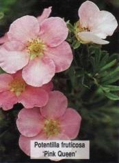 Potentilla fruticosa Princess/Pink Queen/Blink