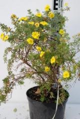 Лапчатка кустарниковая Кобольд, 4 года