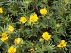 Лапчатка кустарниковая Кобольд цветение