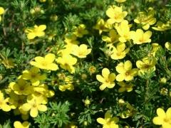 Лапчатка кустарниковая Kobold цветы
