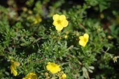 Potentilla fruticosa Kobold 4 года (сентябрь)