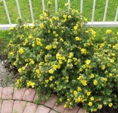 Лапчатка кустарниковая Элизабет <br>Лапчатка кущова Елізабет <br>Potentilla fruticosa Elizabeth