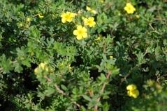 Желтая Лапчатка кустарниковая Элизабет / Potentilla fruticosa Elizabeth 4 года (сентябрь)