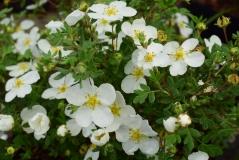 Лапчатка кустарниковая Абботсвуд <br>Лапчатка кущова Абботсвуд <br>Potentilla fruticosa Abbotswood