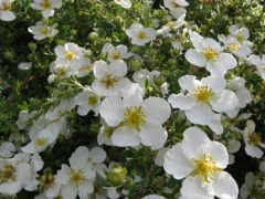 Лапчатка кустарниковая Abbotswood