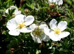Курильский чай Абботсвуд цветет белым