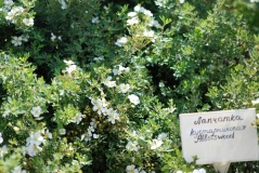 Лапчатка кустарниковая Aбботсвуд белая 4-летняя (сентябрь)