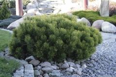 Сосна чёрная / австрийская Нана <br>Сосна чорна / австрійська Нана<br>Pinus nigra Nana