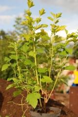 Пузыреплодник калинолистный Лютеус / Physocarpus opulifolius Luteus лето