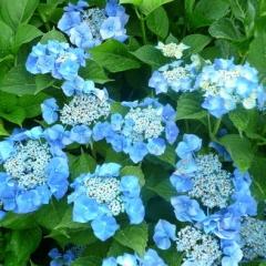 Hydrangea macrophylla Mariesii Perfecta/Blue Wave