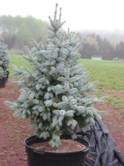 Picea pungens Glauca Misty Blue