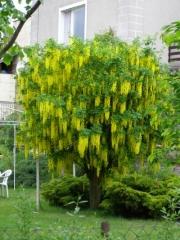 Бобовник анагиролистный / Лабурнум / Золотой дождь <br>Бобовник анагіролистий / Лабурнум / Золотий дощ<br>Laburnum anagyroides