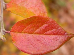 Кизильник блестящий / Cotoneaster lucidus
