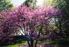 Церцис канадский / иудино дерево