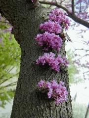 дерево Церцис канадський