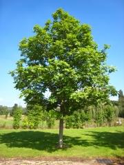 Ясень обыкновенный <br>Ясен звичайний<br>Fraxinus excelsior