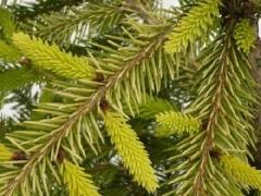 Picea pungens Jan Byczkowski
