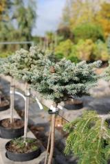 Picea pungens Tokarz