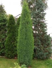 Можжевельник обыкновенный Суэцика <br>Ялівець звичайний Суецика<br>Juniperus communis Suecica