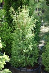 Juniperus communis Suecica 90-110 см