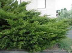 Juniperus media / pfitzeriana Pfitzeriana