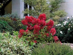 Гортензия метельчатая Красный Бриллиант