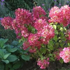 Hydrangea paniculata Diamant Rouge
