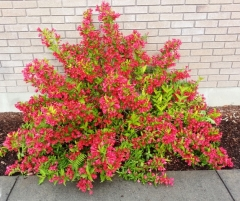 Вейгела Ред Принц <br>Вейгела Ред Принц <br>Weigela Red Prince
