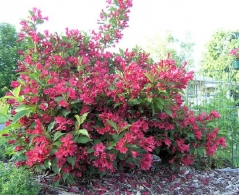 Weigela hybrids Red Prince
