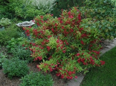 Weigela Red Prince