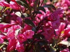 Вейгела цветущая Виктория / Weigela florida Victoria
