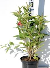 Вейгела квітуча Мулен Руж ® 3роки