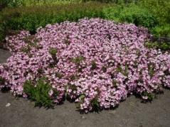 Вейгела цветущая Pink Poppet Plangen®фото