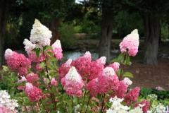 За такую необычную окраску и форму соцветия Гортензию метельчатую Vanille Fraise® сравнивают с ванильно-клубничным рожком