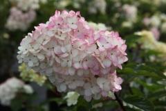 Позже меняет окраску от основания на розовую