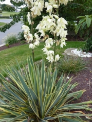 Yucca filamentosa ssp. smalliana Bright Edge