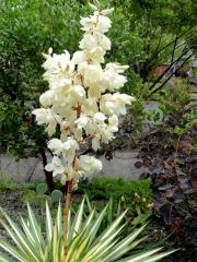 Юкка нитчатая Колор Гуард / Юкка нитчата Колор Гуард / Yucca filamentosa Color Guard