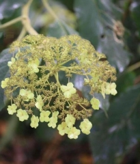 Hydrangea aspera Sargentiana осенью