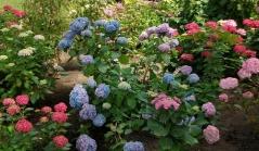 Гортензия крупнолистная Букет Роз