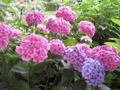 Гортензія крупнолиста Букет Троянд
