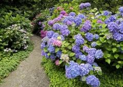Гортензия крупнолистная Bouquet Rose